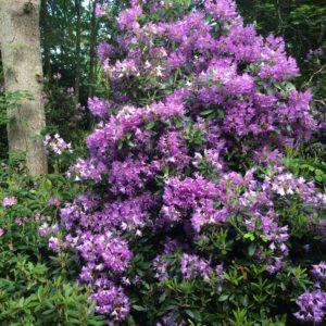 Rhododendron en fleur 2016