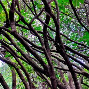 rhododendrons intérieur (copyright Laurence de Terline)